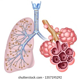 Schematic image of the lung and a set of alveolar sacs, in which we can see its interior, these elements that are part of the human respiratory system.