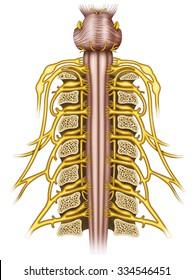 Scheme composed of cervical vertebrae.