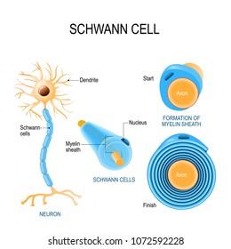 Schwann cells. Structure of neurolemmocytes. Anatomy of a typical human neuron