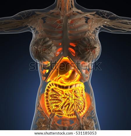 Science Anatomy Woman Body Glow Digestive Stock Illustration