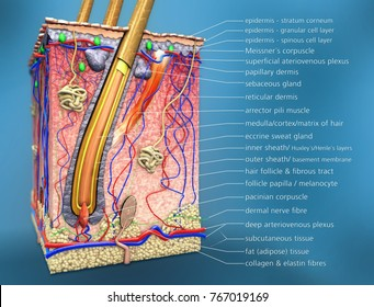 scientific 3d illustration of a cross section of hair follicle with description and anatomical function