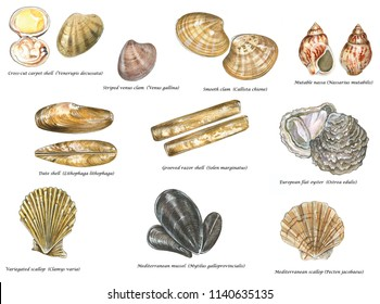 scientific illustration of species of edible shells of Mediterranean Sea: cross-cut carpet shell, Striped venus clam, Smooth clam, date shell, razor shell, oyster, mutable nassa, scallop, mussel.