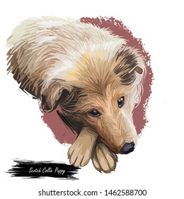 Scotch collie pet with long fur, furry domestic animal sticking out tongue pet hand drawn portrait. Graphic clip art design of canine purebred breed long haired coat. Watercolor doggy isolated face