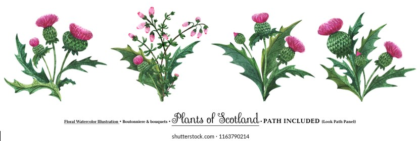 Scottish wild plants boutonniere for art decoration. Watercolor thistle bouquets on a white backdrop,  isolated, path included