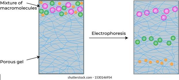 SDS-PAGE Electrophoresis (Polyacrylamide gel electrophoresis)