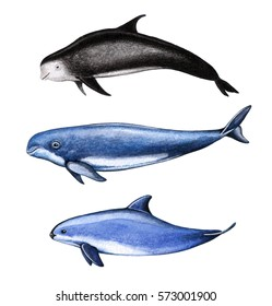 Sea animals. Grampus, finless porpoise and vaquita. Watercolor hand drawn illustration