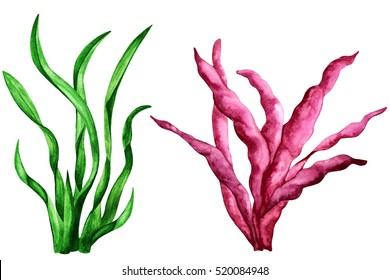 Sea weed. Watercolor painting. Grass close up. Plants isolated on white background set. Red and green colored