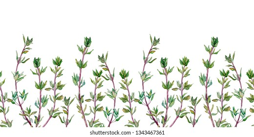 Seamless pattern of thyme. Watercolor border of spice.