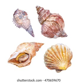 Seashell. Edible sea mollusk. Watercolor.