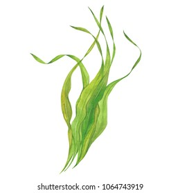 seaweed laminaria, watercolor illustration  on white background