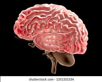 Section of a brain seen in profile, parts of the brain. Degenerative diseases, Parkinson, synapses, neurons, Alzheimer's, 3d rendering
