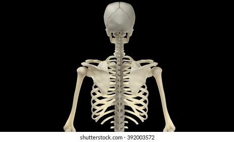 Section Superior Skeleton Back