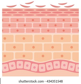 sectional view of epithelium and skin cells