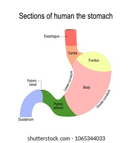 Sections Stomach Parts Regions Duodenum Esophagus Stock Illustration ...