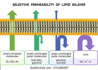 Selective permeability of lipid bilayer. Semipermeable cell membrane.