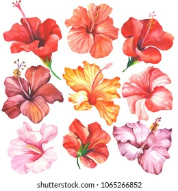 selowerst of watercolor hibiscus.colorful flowers