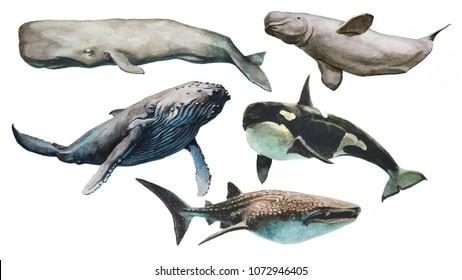 Set of 5 cetaceans painted in watercolor. Sperm whale, beluga, blue whale, killer whale, shark whale.