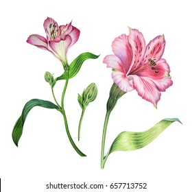 A set of Alstroemeria flowers in watercolour. Pink flowers illustration. can be used in greeting card, Invitation card for wedding birthday and other holiday and summer background.