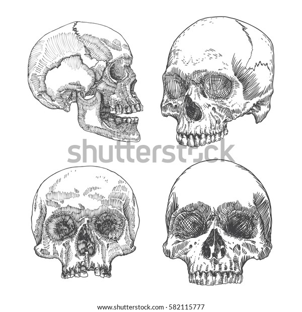 Set of anatomic skull in different conditions and views, weathered and museum quality, detailed hand drawn illustration. Raster.