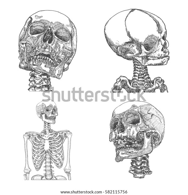 Set of anatomic skulls in different directions, weathered and museum quality, detailed hand drawn illustration. Raster.