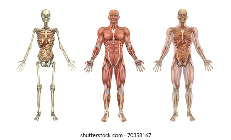 A set of anatomical overlays depicting the internal organs - these images will line up exactly, and can be used to study anatomy - 3D render. They can also be used to create your own illustrations.