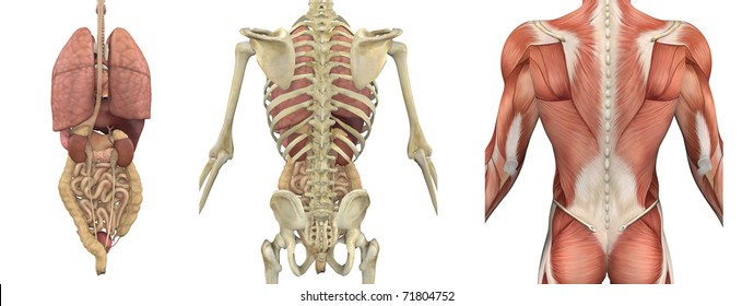 A set of anatomical overlays depicting the internal organs as seen from the back - these images will line up exactly, and can be used to study anatomy - 3D render.