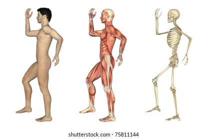 A set of anatomical overlays depicting the side view of a man with arms and leg bent. These images will line up exactly, and can be used to study anatomy. 3D render.