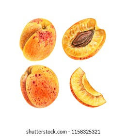 A set of apricots painted with colored pencils on a white background. Whole fruits and slices in a cut.