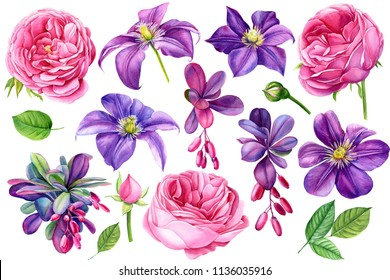 set beautiful flowers purple clematis,  branches with berries of barberry, pink roses, buds and leaves on isolated white background, watercolor illustration