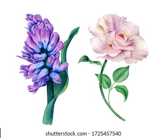 Set of beautiful flowers (violet Hyacinth and white Rose) watercolor illustration isolated on a white background suitable for floral designs, wedding and greeting invitation design. Watercolor flowers