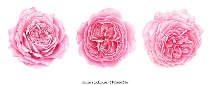 Set of beautiful garden pink roses isolated on white background. Hand drawn watercolor botanical illustration.