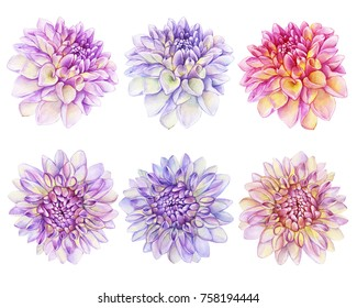 Set beautiful purple, pink Dahlia flower.  Watercolor hand drawn painting illustration isolated on white background.