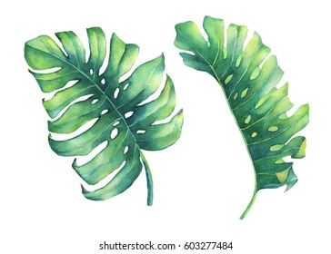 Set of big tropical green leaf of Monstera plant. Hand drawn watercolor painting on white background.