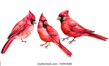 set of birds, red Cardinal bird, watercolor