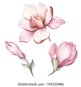 Set of blooming magnolia. Hand draw watercolor illustration