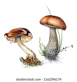 A set of Botanical watercolor illustrations of russula mushrooms and brown birch mushroom caps in grass