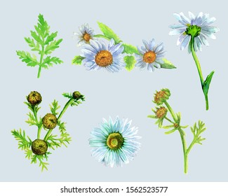 Set of bouquets of daisy flowers and single flowers and leaves. Freehand watercolor drawing, color illustration