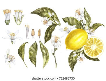 Set Branch of watercolor lemon tree with leaves, yellow lemons and flowers. Hand drawn watercolor elements for your design. Isolated on white