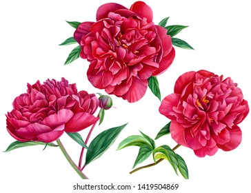 set of burgundy peonies on an isolated white background, beautiful watercolor flowers, botanical illustration, painting