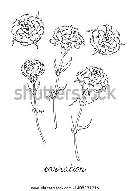 Carnation flower coloring pages | Flower coloring pages, Carnation ... | 620x424