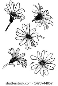 Set of chamomile flower in different angles. Graphics, contour, black and white image. Cape Chamomile, osteospermum