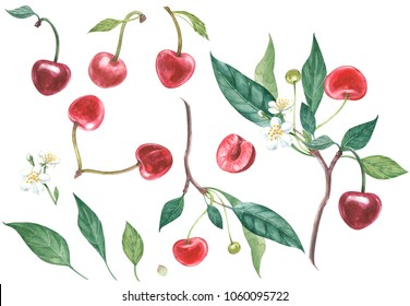 Set of Cherry on branch with flowers isolated, watercolor illustration.