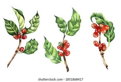 Set of coffee branches with red beans. Watercolor illustration of a botanical set of coffee with berries. Isolated on white background. Drawn by hand.