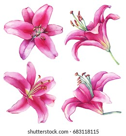 Set, collection with  close-up of a pink Lilies flower. Watercolor hand drawn painting illustration, isolated on white background.