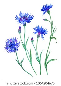 Set of cornflowers, watercolor painting on white background isolated with clipping path.