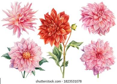 Set of dahlia flowers, isolated white background, watercolor botanical painting