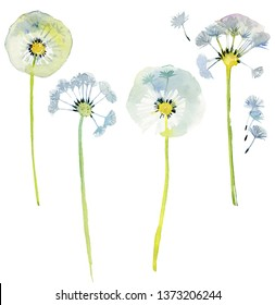 set of Dandelions. Watercolor.  Dandelion blowball with seeds. Watercolor background illustration set. Watercolour drawing fashion aquarelle isolated. Isolated plant illustration element.