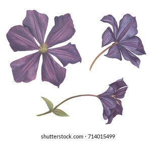 set of different Clematis flowers painted in watercolor
