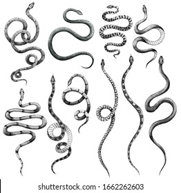set of different snakes pencil drawing, vintage style graphic black and white, viper, python