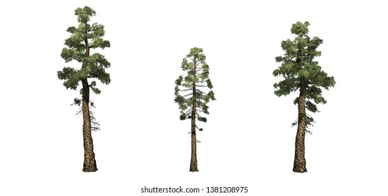 Set of Douglas Fir trees - isolated on a white background - 3D illustration